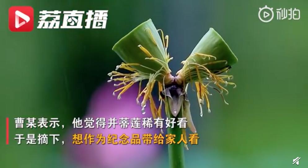 南京玄武湖被摘并蒂莲已追回计划制成标本,游客罚款200元