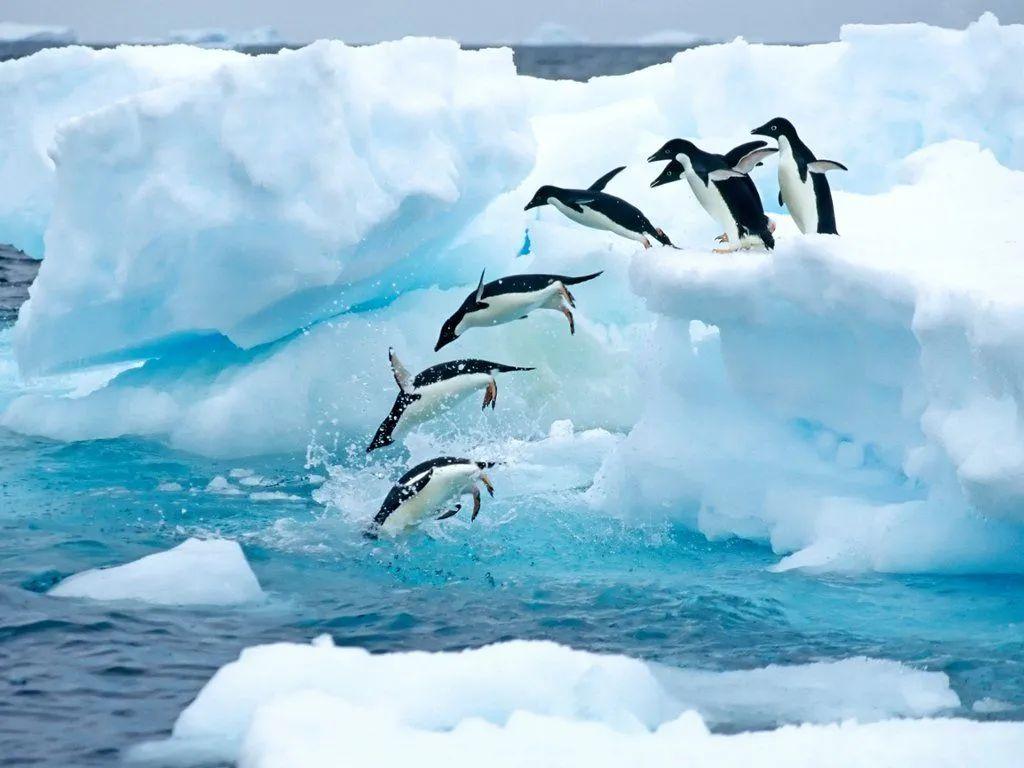 爱潜水的阿德利企鹅。| webshots.com