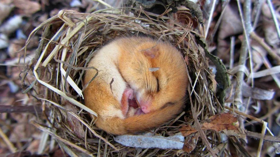 榛睡鼠(Muscardinus avellanarius)。图片来源:维基百科