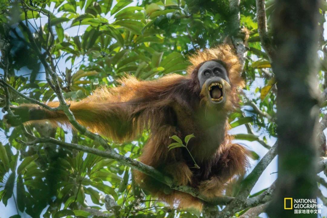 一只雄性苏门达腊猩猩露出利齿、摇晃树枝,发出对一名对手的挑战