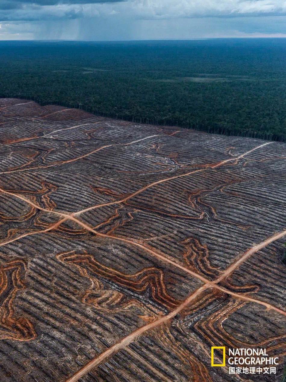 婆罗洲和苏门答腊的森林、泥炭地已被大片砍伐焚烧,给棕榈种植园腾位置。摄影:ULET IFANSASTI,GREENPEACE