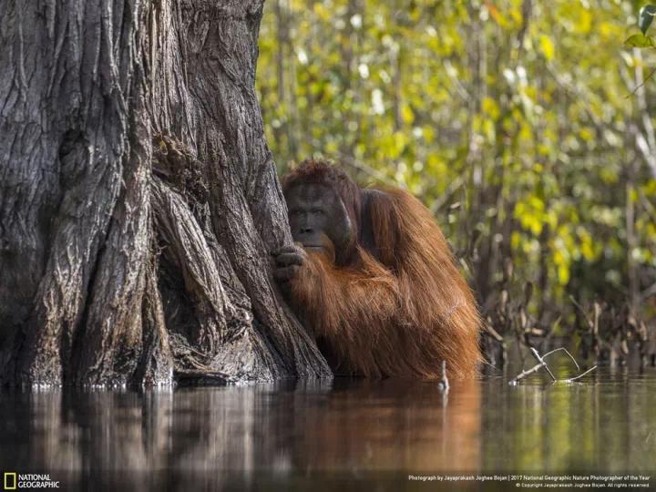 印尼丹戎普丁国家公园,一只雄性红毛猩猩正在渡河。当地的棕榈油农业正侵蚀着猩猩们的栖息地。(本图曾获2017年度《国家地理》自然摄影师大奖)摄影:JAYAPRAKASH JOGHEE BOJAN,YOUR SHOT