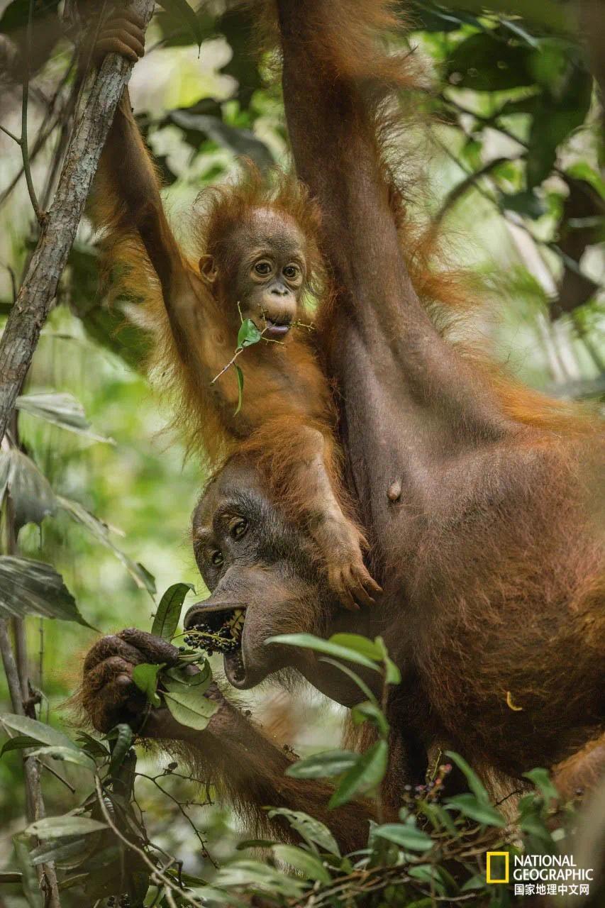 一只11个月大的红毛猩猩幼崽在模仿妈妈的动作