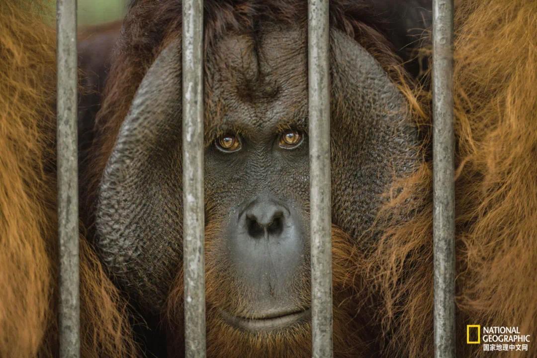 你与红毛猩猩的相似度为96.4%