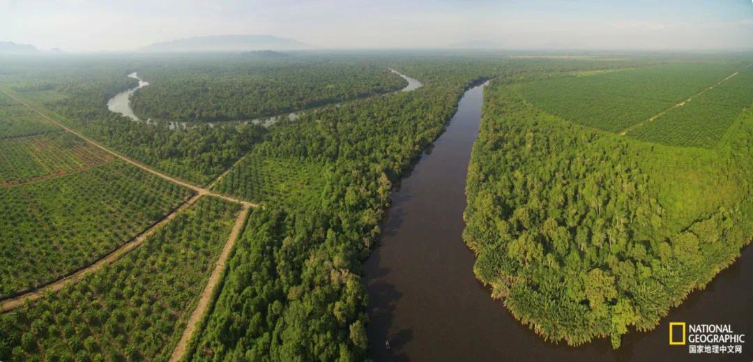 婆罗洲的帕隆国家公园附近,一排排整齐的经济油棕树已取代了原始雨林图源:COMPOSITE OF THREE IMAGES