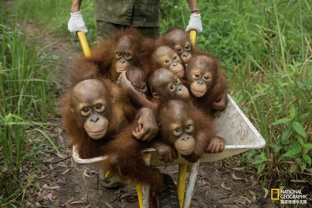 """幼小的红毛猩猩在黑市上作为宠物可以卖出高价,而捕捉它们的唯一办法是杀掉护子心切的母亲。这些猩猩孤儿被送往""""国际动物救助院""""养育"""