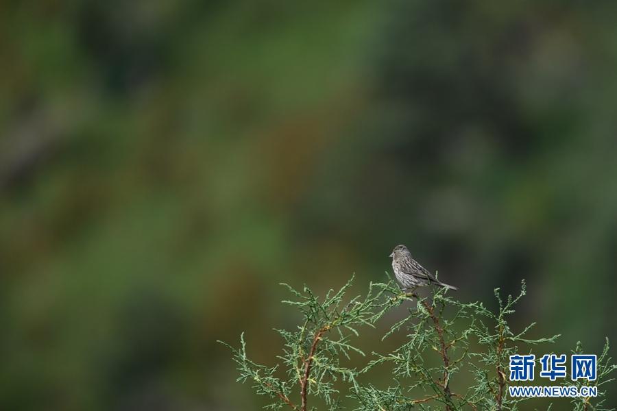 图为8月29日在青海省玉树藏族自治州囊谦县境内拍摄到的曙红朱雀(雌)。