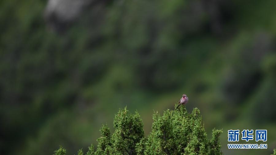 图为8月29日在青海省玉树藏族自治州囊谦县境内拍摄到的曙红朱雀(雄)。