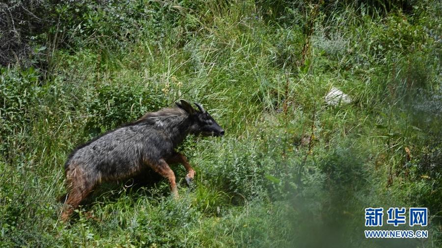 图为8月29日在青海省玉树藏族自治州囊谦县境内拍摄到的中华鬣羚。