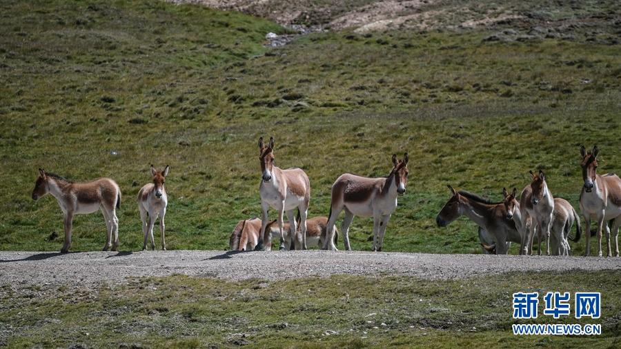 青海省果洛藏族自治州玛多县境内的国家一级重点保护动物藏野驴。(8月25日摄)