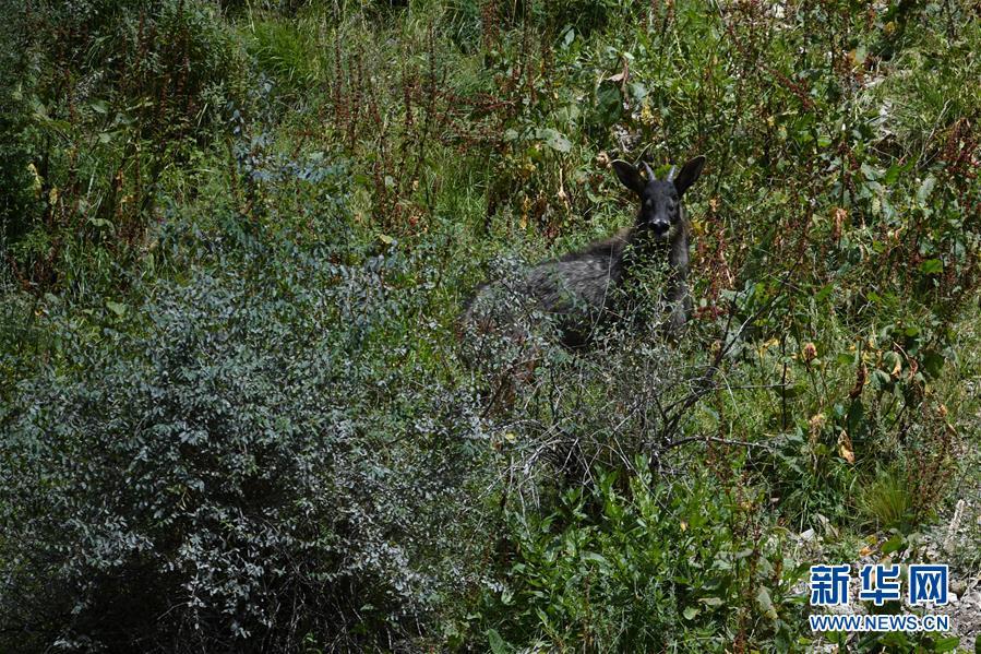 (环境)(1)中华鬣羚现身青海玉树