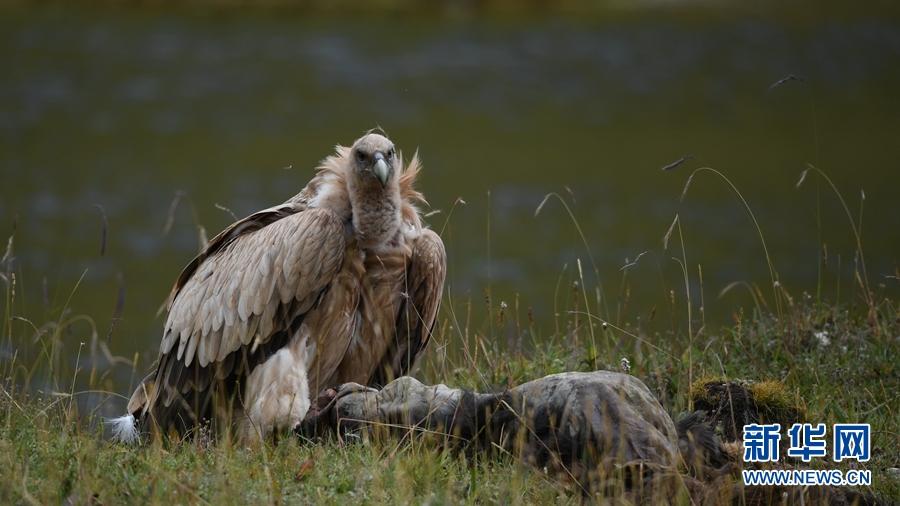 图为8月29日在青海省玉树藏族自治州玉树市境内拍摄到的高山兀鹫。