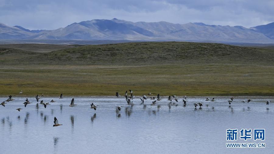 图为8月30日在青海省果洛藏族自治州玛多县境内拍摄到的斑头雁和赤麻鸭。