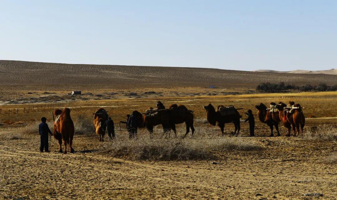 """▲ 编队、起场:装好货物之后,就对骆驼进行编队。民勤驼队的编队多采用奇数,7至11峰拉成一链,俗称""""一把子""""。图为民勤骆驼客省级代表性传承人张元生和骆驼客一起给骆驼编队,准备起场。2016年10月22日李军摄于民勤县西山庙台子驼场"""