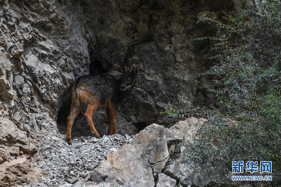 (环境)(3)中华鬣羚现身青海玉树