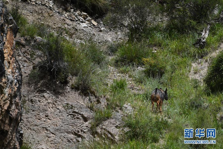 (环境)(4)中华鬣羚现身青海玉树