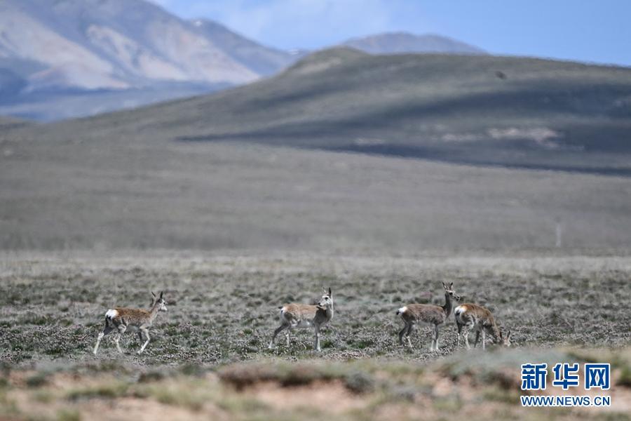 图为8月25日在青海省果洛藏族自治州玛多县境内拍摄到的藏原羚。