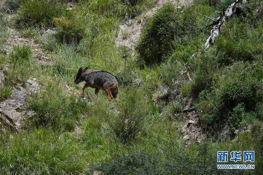 (环境)(5)中华鬣羚现身青海玉树