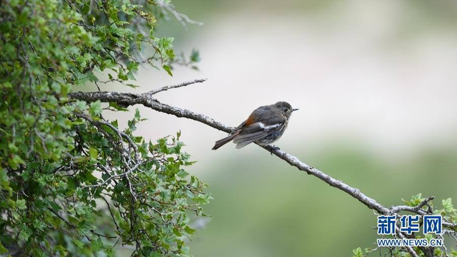 图为8月29日在青海省玉树藏族自治州囊谦县境内拍摄到的白喉红尾鸲(幼鸟)。