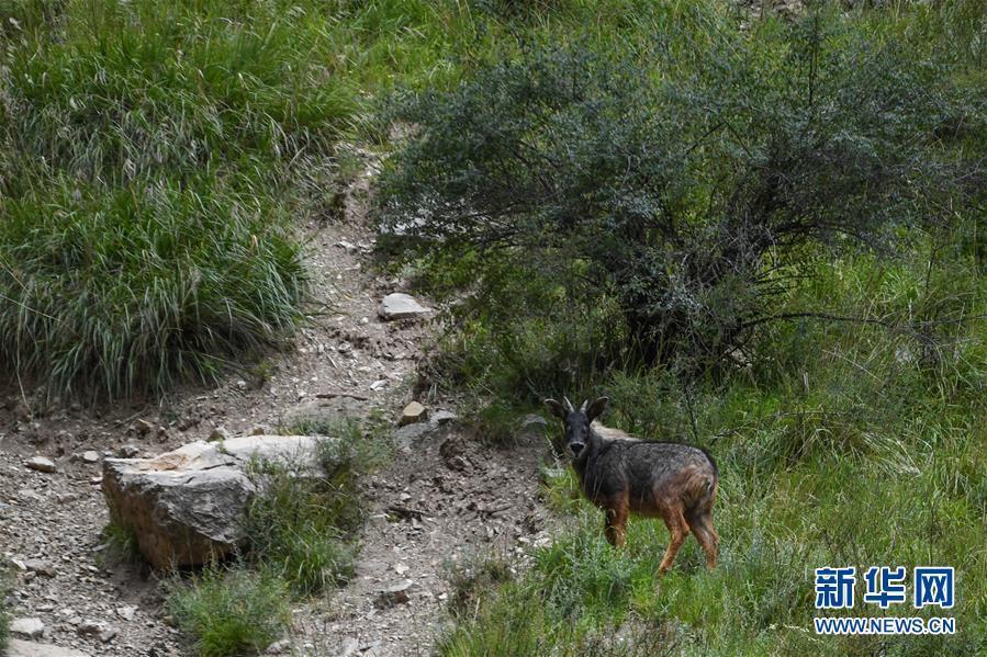 (环境)(2)中华鬣羚现身青海玉树