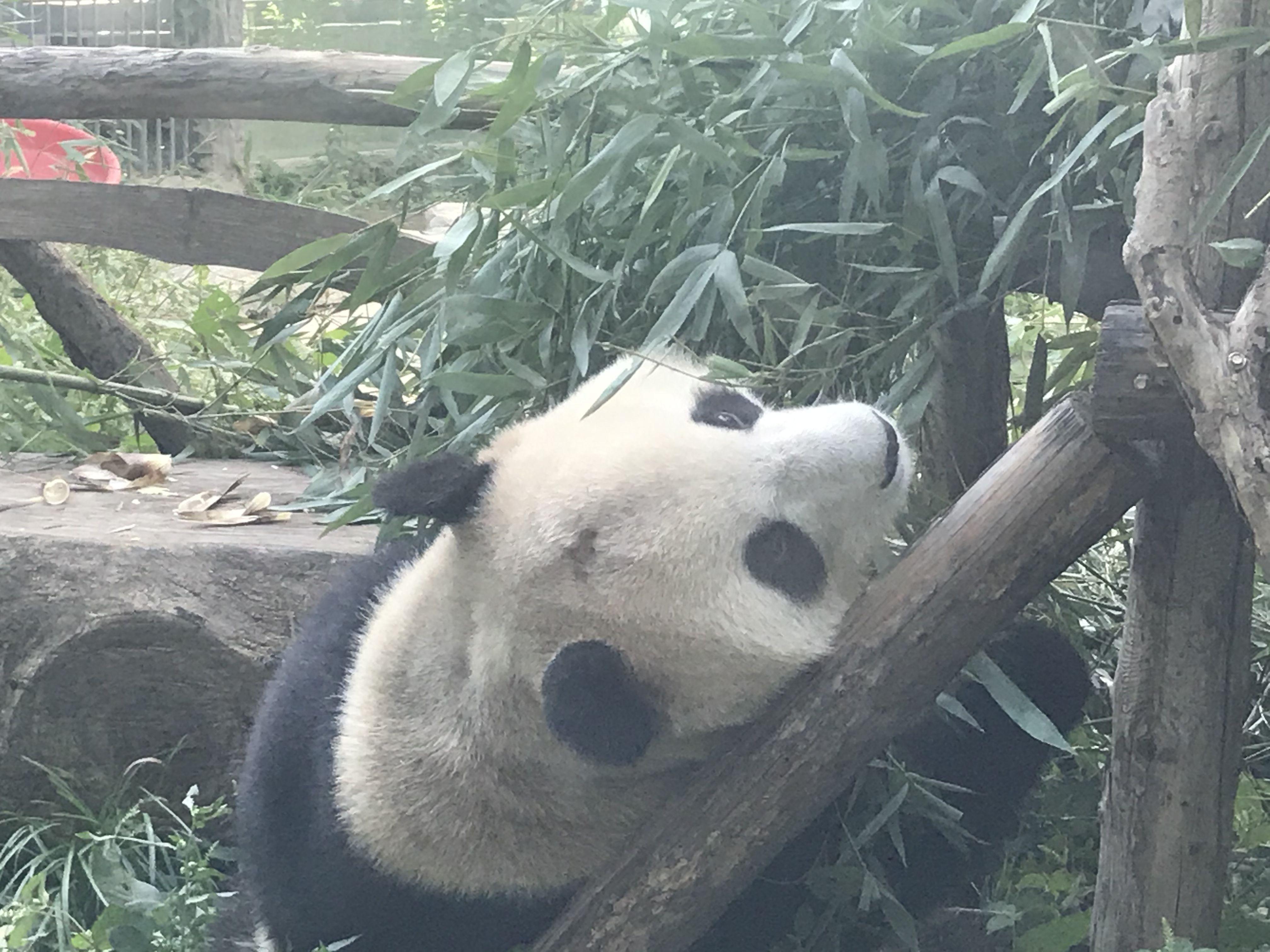 """【什么是百度竞价排名】_北京动物园网红大熊猫""""突然头秃"""",园方:不清楚为啥"""