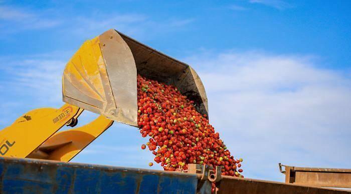 在新疆博湖县乌兰再格森乡乌兰再格村番茄地里,农牧民群众用装载机装运番茄。图自中新网
