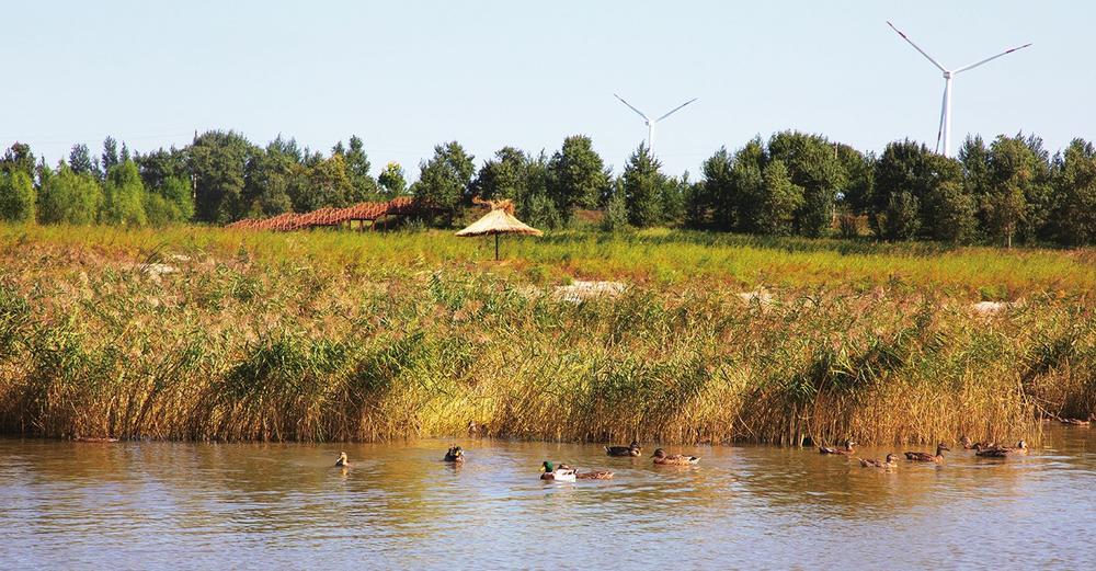 茂盛的芦苇丛成为鸟类的栖息家园。