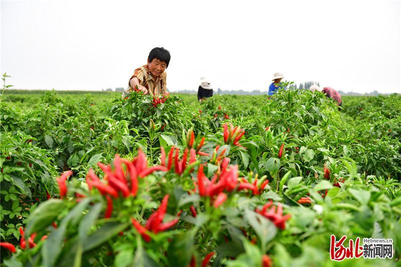 2020年9月15日,河北省邯郸市临漳县辣椒喜获丰收,村民们抢抓农时收获辣椒,田间地头一派繁忙景象。