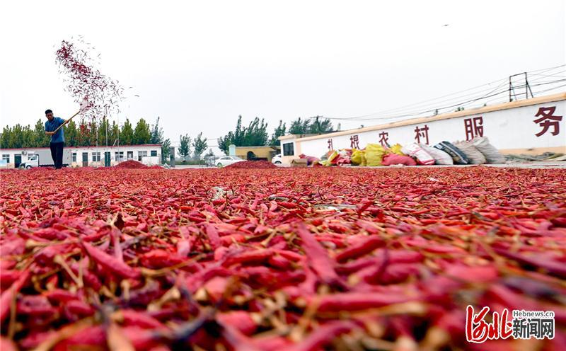 2020年9月15日,河北省邯郸市临漳县辣椒喜获丰收,村民在晾晒辣椒。
