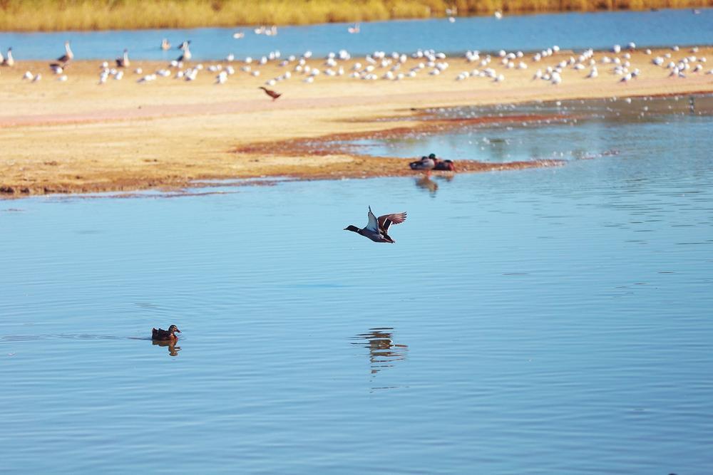 候鸟云集的湖面。