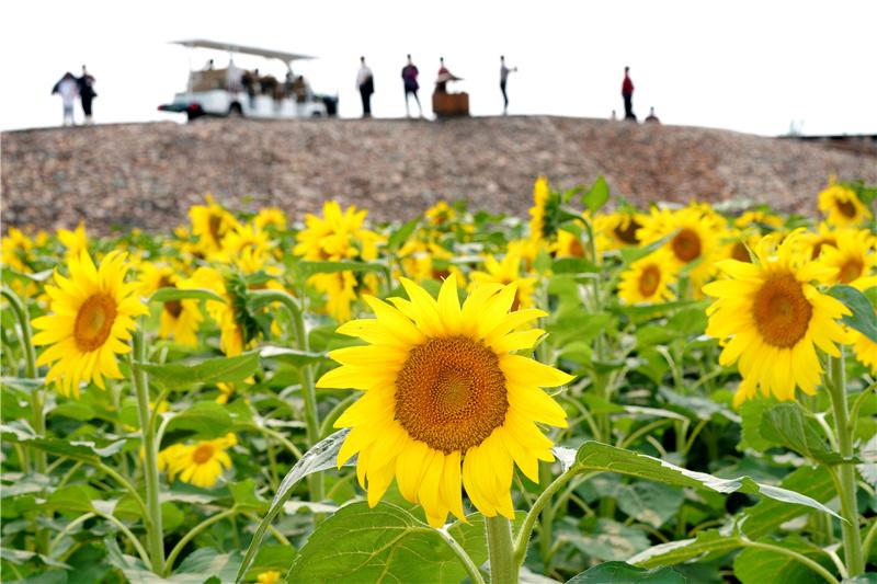 9月15日,游客在河北省沙河市红薯岭农业种植基地观赏油葵。