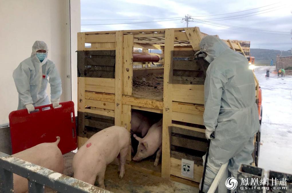 丹麦种猪到达隔离场 张蓝翔 摄
