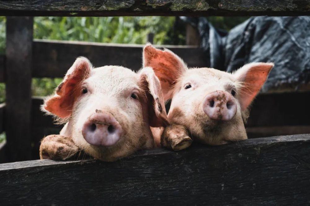 """中国公布转基因""""超级猪"""":不易染病,何时走上餐桌?"""