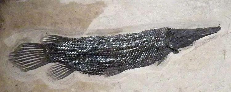 鳄雀鳝祖先化石
