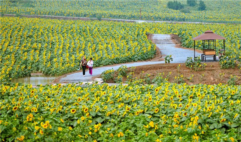 9月15日,游客在河北省沙河市红薯岭农业种植基地油葵花田内游览。