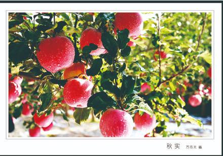庄浪红苹果 万志太 摄