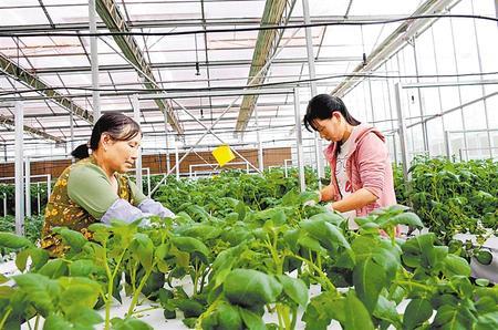 甘肃田地农业科技有限责任公司员工正在作业 新甘肃·甘肃日报 通讯员 吴鲁