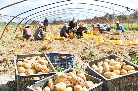 """凯凯公司采用""""一草三膜、一年两季粮蔬""""高产高效栽培种植模式,确保丰产丰收。新甘肃·甘肃日报 通讯员 曹应森"""
