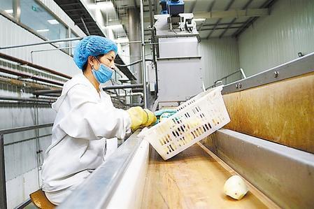 甘肃薯香园农业科技有限公司马铃薯全粉加工线上,工人挑拣马铃薯。安定区委宣传部供图