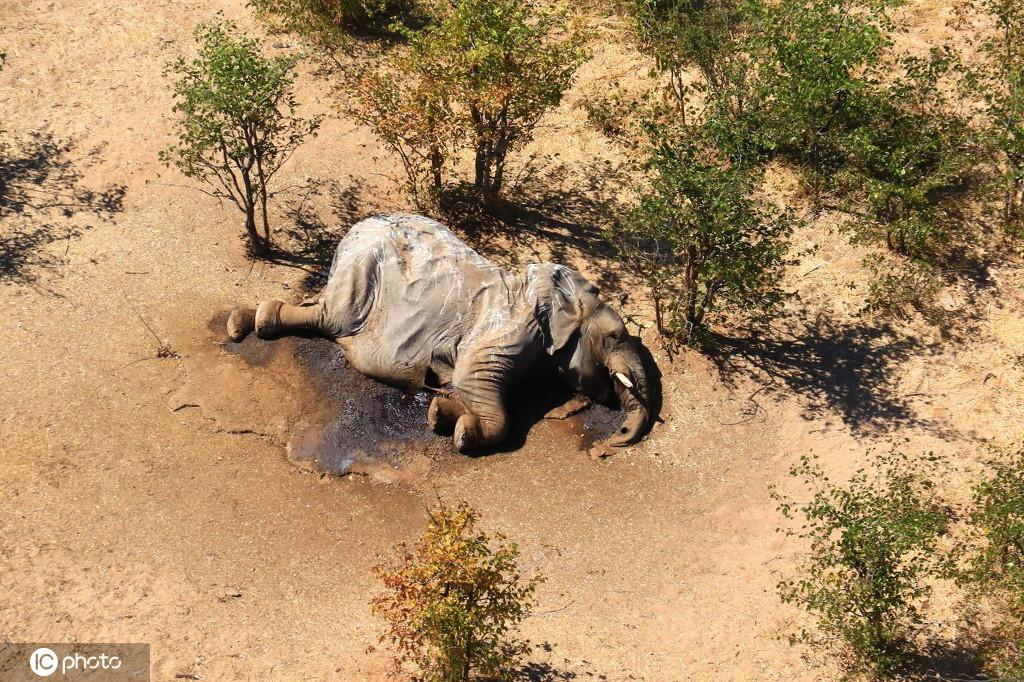 【百度快照删除】_数百头大象死亡!博茨瓦纳:由水中的蓝藻细菌引发