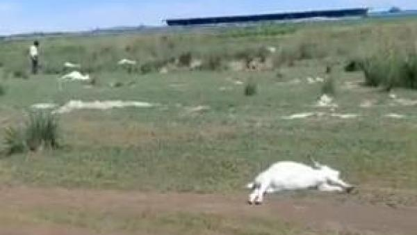 【googlepr】_内蒙古一养殖户上百只羊离奇死亡,当地警方称已移交刑警队