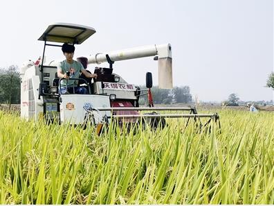 利辛县阚疃镇21000余亩水稻喜获丰收
