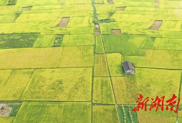 《稻黄胜春光》邹声爽拍摄于冷水江市三尖镇