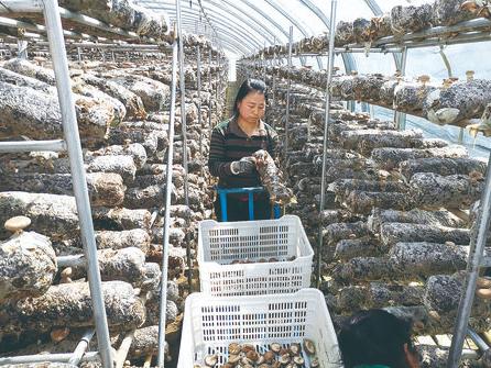 华池县食用菌产业园里受雇的当地农民在采摘香菇