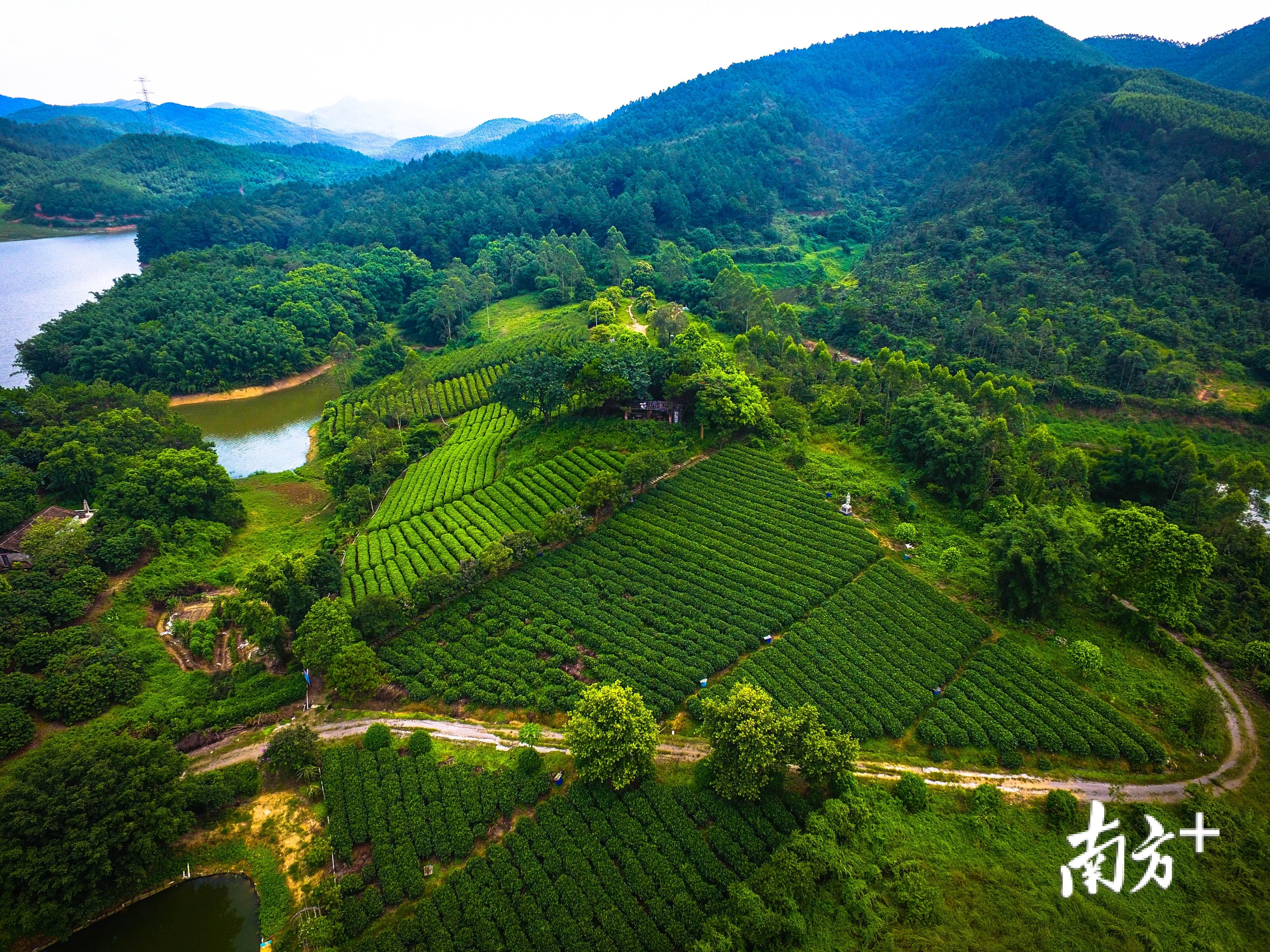 鹤山种茶历史悠久。