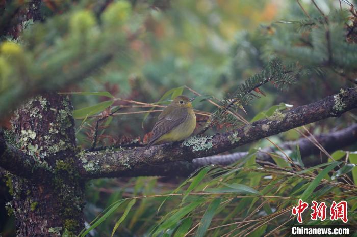 绿背姬鹟雌鸟 黄雄 摄