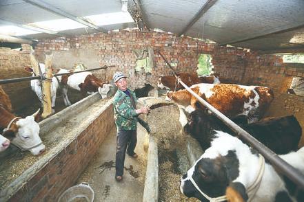 庄浪县杨河乡寺岔村的养牛大户王飞依靠养牛走上了致富路