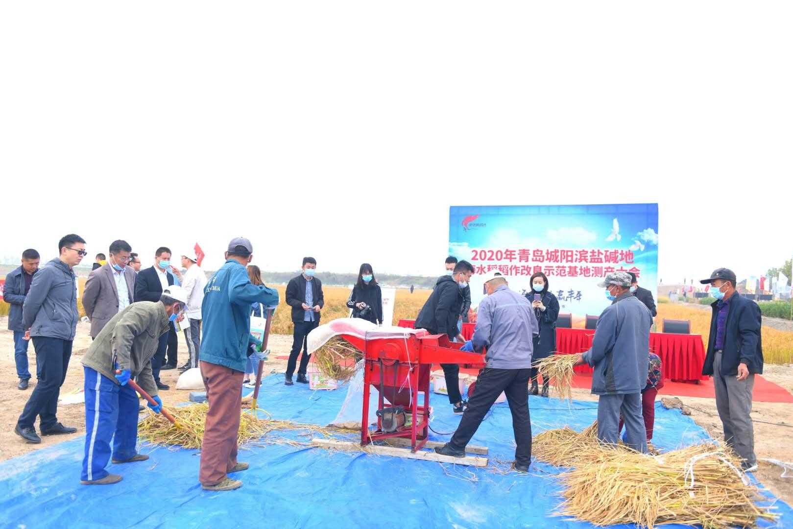 """打造乡村振兴""""城阳样板"""" 亩产739.7公斤海水稻迎丰收"""