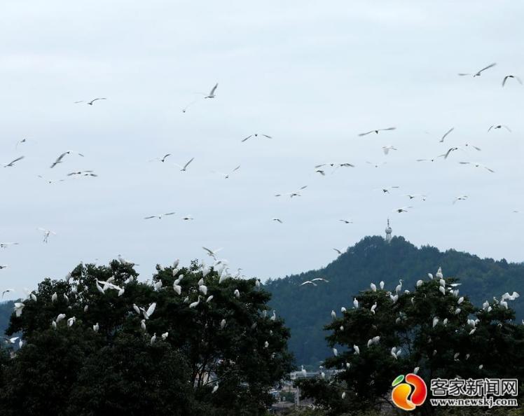 安远:生态美 白鹭飞(图)
