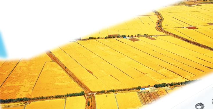 秋时节的金黄稻田。